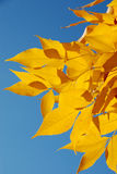 Fall Leaves Royalty Free Stock Images