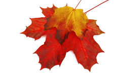 Fall Leaves. Fall maple leaves isolated on white background. Stock photo Royalty Free Stock Images