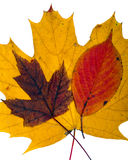 Fall Leaves. Close up of arrangement of colorful autumn leaves isolated on white stock images