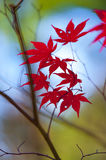 Fall leaves. For an autumn background Royalty Free Stock Image
