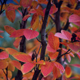 Fall leaves. Red fall leaves in vancouver Royalty Free Stock Photography