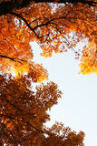 Fall leaves. A seasonal look at a fall leaves on a tree Royalty Free Stock Photos