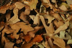 Fall Leaves. Fall leaf texture/background Royalty Free Stock Images