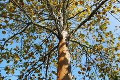 Fall leaves. Worms eye view of birch  leaves Stock Images