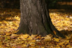Fall Leaves. The base of a tree with the ground covered in leaves Stock Photo