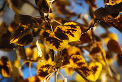 Fall leaves. Aspen leaves in fall in special light royalty free stock photos