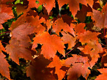 Fall Leaves. Red Maple leaves on a tree during fall stock image
