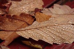 Fall Leaves. Dew covered fall leaves laying on deck Stock Photography