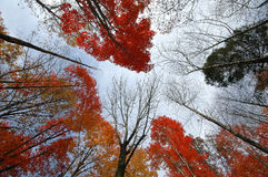 Fall leaves. On towering tall trees, Appalachia, USA Royalty Free Stock Photos