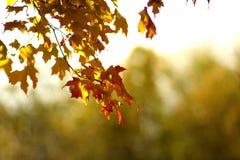 Fall leaves. Seasonal fall leaves on tree close up Stock Photography