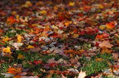 Fall leaves. On the grass in Indiana royalty free stock photography