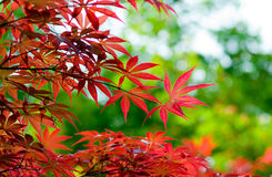 Fall leaves. A bunch of fall leaves with green background,Xihu,china Royalty Free Stock Photo