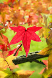 Fall leaves. Red maple leaf among fall leaves stock photography