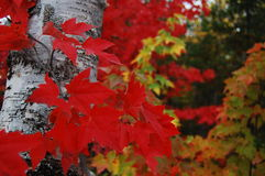Fall Leaves. The changing colours of fall leaves Stock Photography
