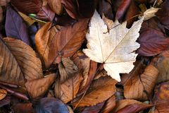 Fall Leaves. Pile of colorful fall leaves of different sizes Stock Photos