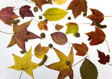 Fall Leaves. Image of colorful fall leaves on white background stock images