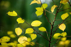 Fall leaves. With beautiful colors Royalty Free Stock Images