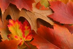 Fall Leaves. Maple and oak tree leaves arranged in a still life Royalty Free Stock Photo