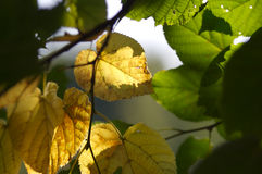 Fall leaves. Green and yellow leaves Royalty Free Stock Photography