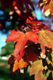Fall leaves. Colorful leaves against a blue sky Royalty Free Stock Image