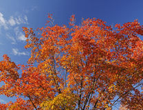 Fall leaves against blue sky Stock Photos