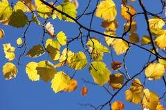Fall leaves against blue sky. Stock Image