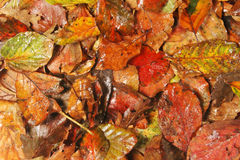 Fall leaves as background. Wet fall leaves as a background Royalty Free Stock Photos