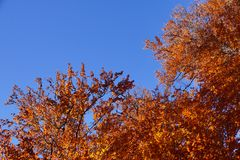 Fall leaves autum orange tree at sunny day with blue sky. Fall leaves autum orange tree at sunny day with blue sky as copy space stock images