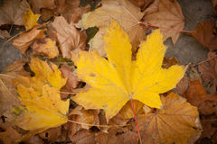 Fall leaves. Autumn background Royalty Free Stock Photos
