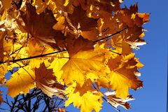 Fall leaves autumn colors foliage and trees background royalty free stock photos
