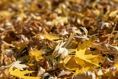 Fall tree leaves. Autumn copy space backdrop. Bokeh background. Fall leaves. Autumn copy space backdrop. Bokeh background royalty free stock photography
