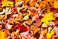 Fall Leaves/Background Royalty Free Stock Photography