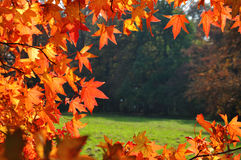 Fall leaves background. Red leaves in fall season, autumn background Royalty Free Stock Image