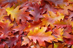 Fall leaves background - Stock Photos. Fall leaves background - yellow autumn oak leaf on orange backdrop royalty free stock photo