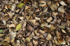 Fall leaves (banyan). Dead leaves of banyan Stock Photo