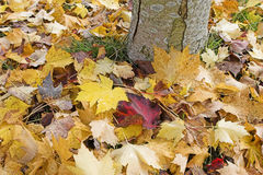 Fall leaves at base of tree. Autumn colorful maple leaves at base of tree Stock Photo