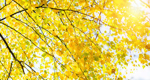 Fall leaves birch. Fall leaves of birch and sunshine Royalty Free Stock Photos