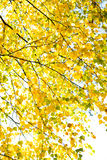 Fall leaves birch Stock Photography