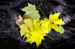 Fall Leaves on Black Rock. Background Royalty Free Stock Photos