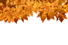 Fall Leaves Blank Background Royalty Free Stock Photo