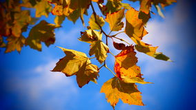 Fall leaves. Blowing in the wind Royalty Free Stock Photography