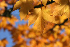 Fall Leaves with Blue Sky Royalty Free Stock Photo