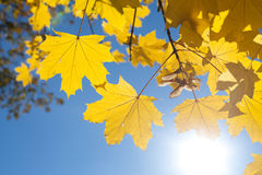 Fall Leaves with Blue Sky. Golden Fall leaves with blue sky Stock Image