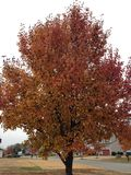 Fall leaves. Bradford pear tree in the fall Stock Images