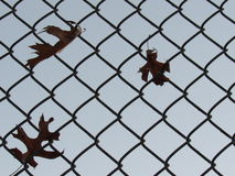 Fall Leaves caught on fence. Two wind blown  maple leaves caught on chain link fence.  Faded orange and red Royalty Free Stock Images