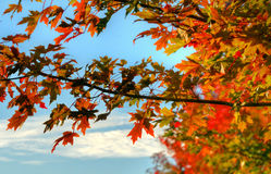 Fall Leaves. Leaves change colors during the fall season Royalty Free Stock Images