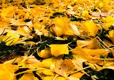 Fall leaves. Changing fall leaves Stock Image