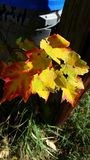 Fall leaves changing Stock Image