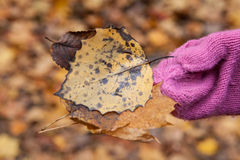 Fall leaves in children's hands, Canada. Fall leaf in children's hands Royalty Free Stock Photos