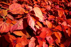 Fall leaves. A close up of autumn leaves Royalty Free Stock Photo